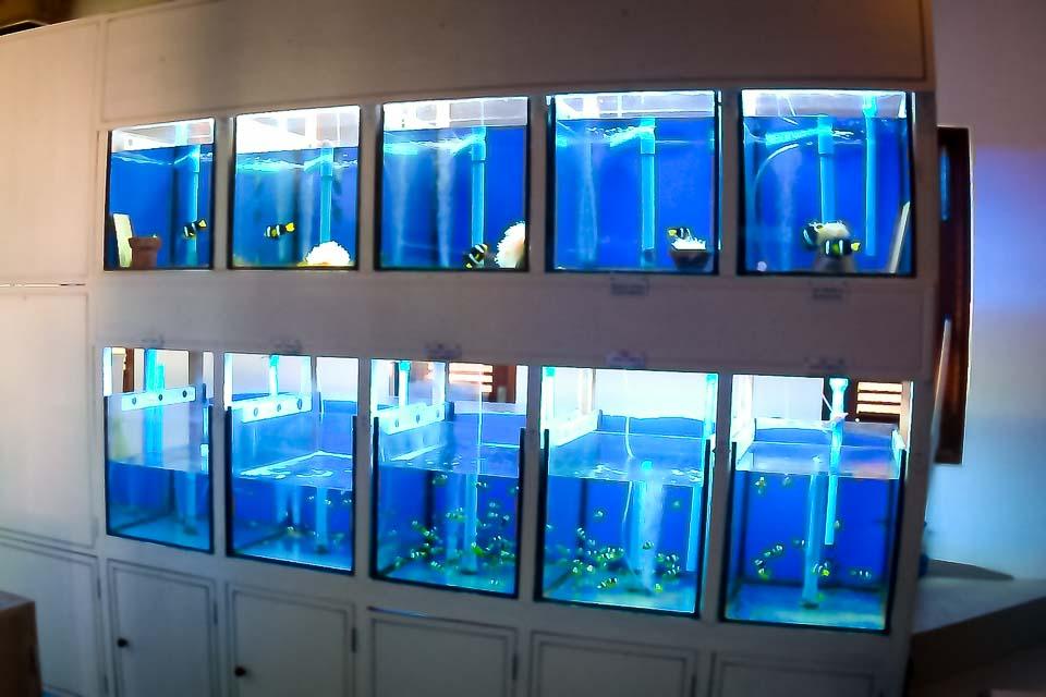 Fish Lab Tanks - Amphiprion clarkii clownfish - Marine Savers Maldives