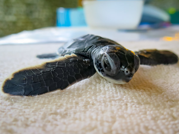 Green turtle head start hatchling Marine Savers Maldives