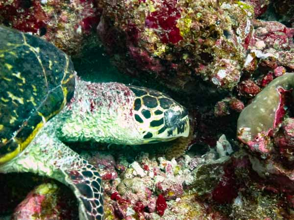 Hawksbill turtle [EI-IQ-149] Marine Savers Maldives