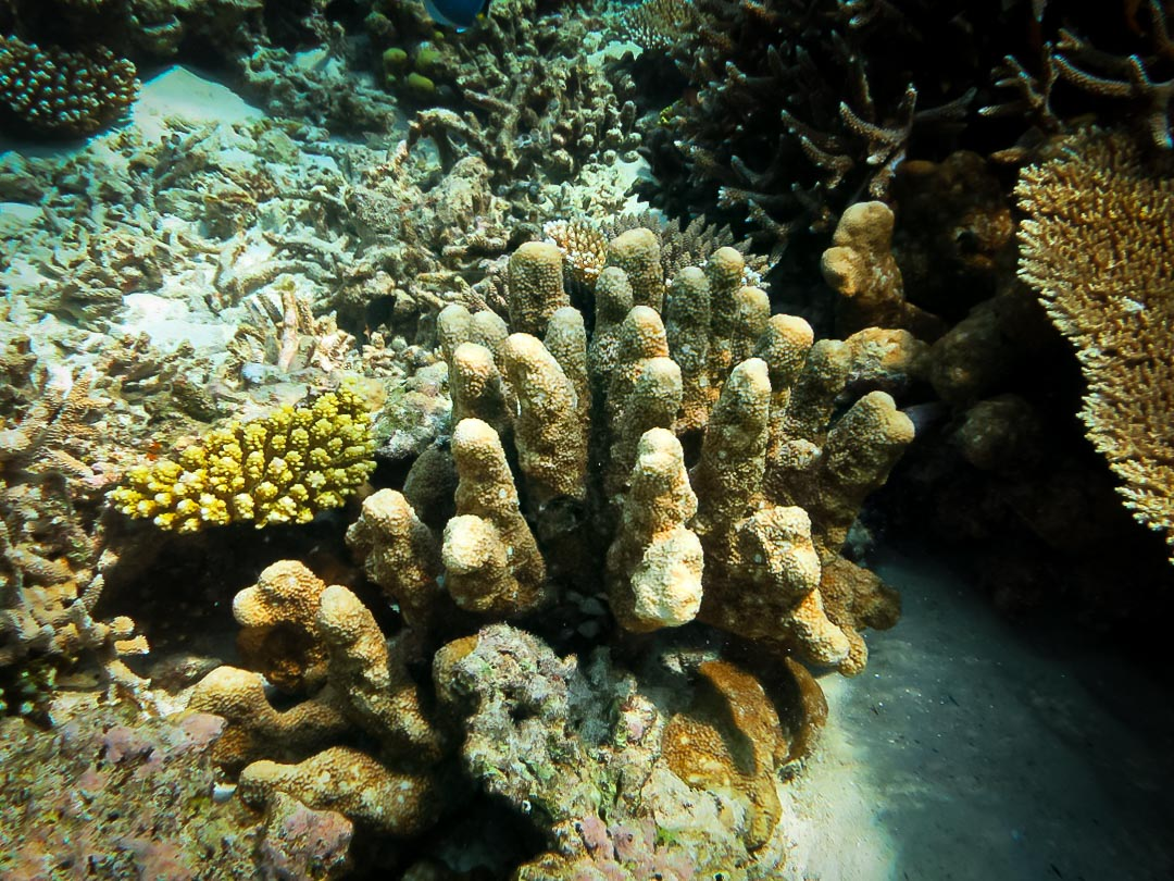 Isopora palifera (3) coral growing in columns Reefscapers Maldives
