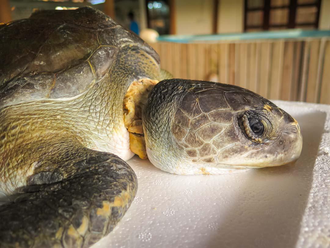 Rescue turtle RB.LO.098 Biroshaba Admission (21)