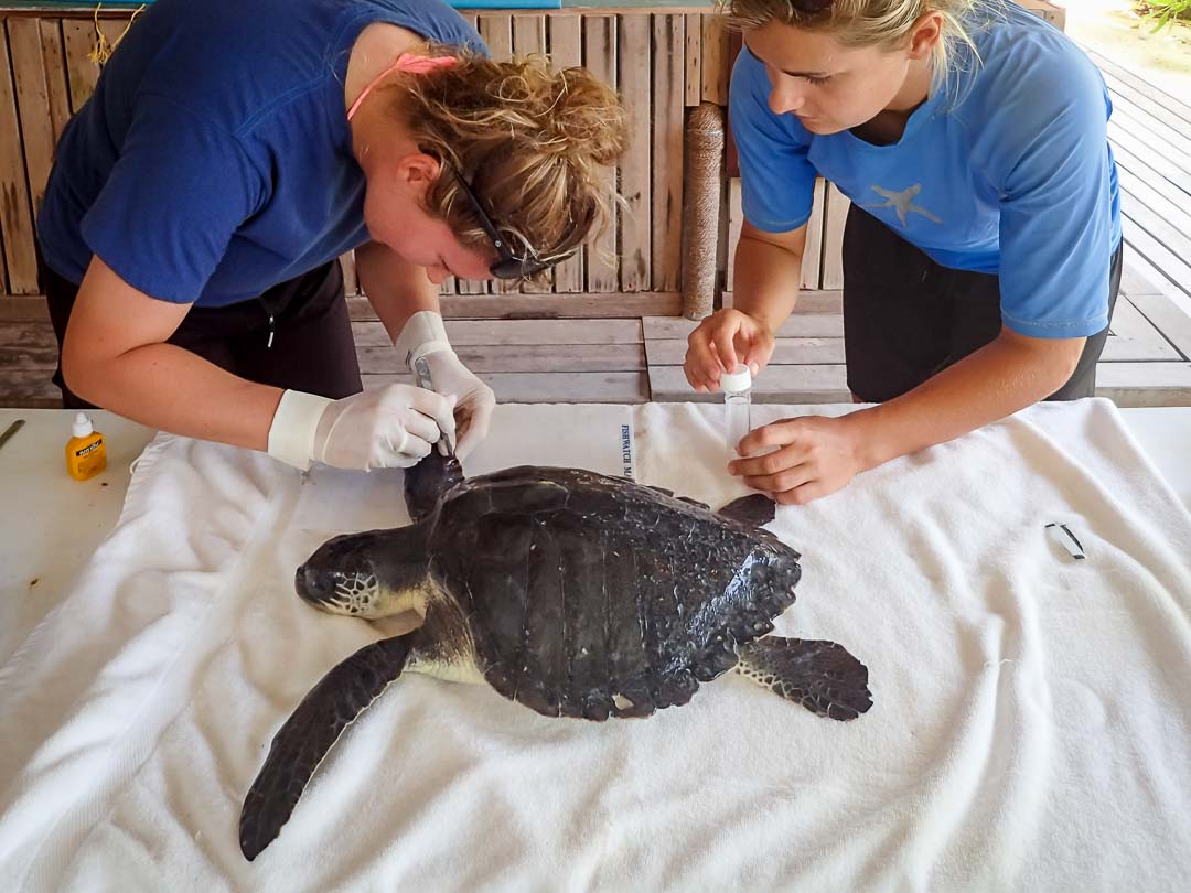 Captain - Gili MB's take flipper samples sea turtle conservation Maldives Marine Savers