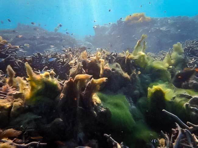 Coral reef - Algal overgrowth - Marine Savers Maldives