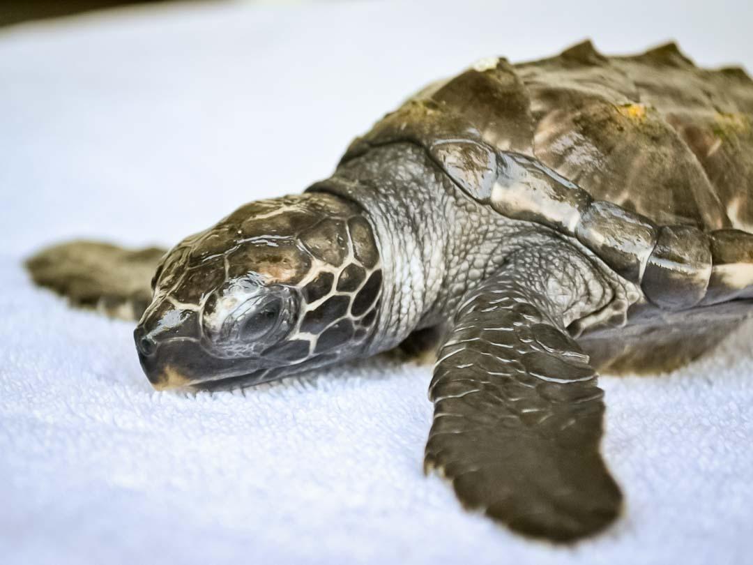 EI.034 Lilyana (1) hawksbill turtle hatchling Marine Savers Maldives