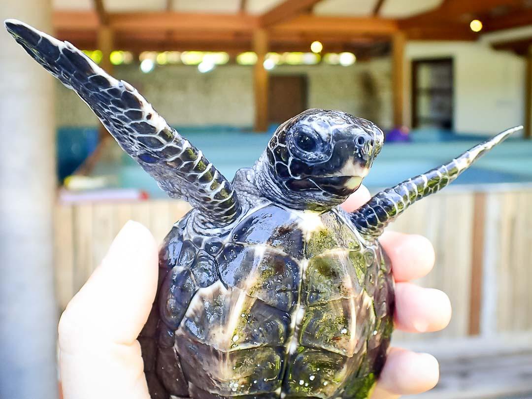EI.034 Lilyana (2) hawksbill turtle hatchling Marine Savers Maldives