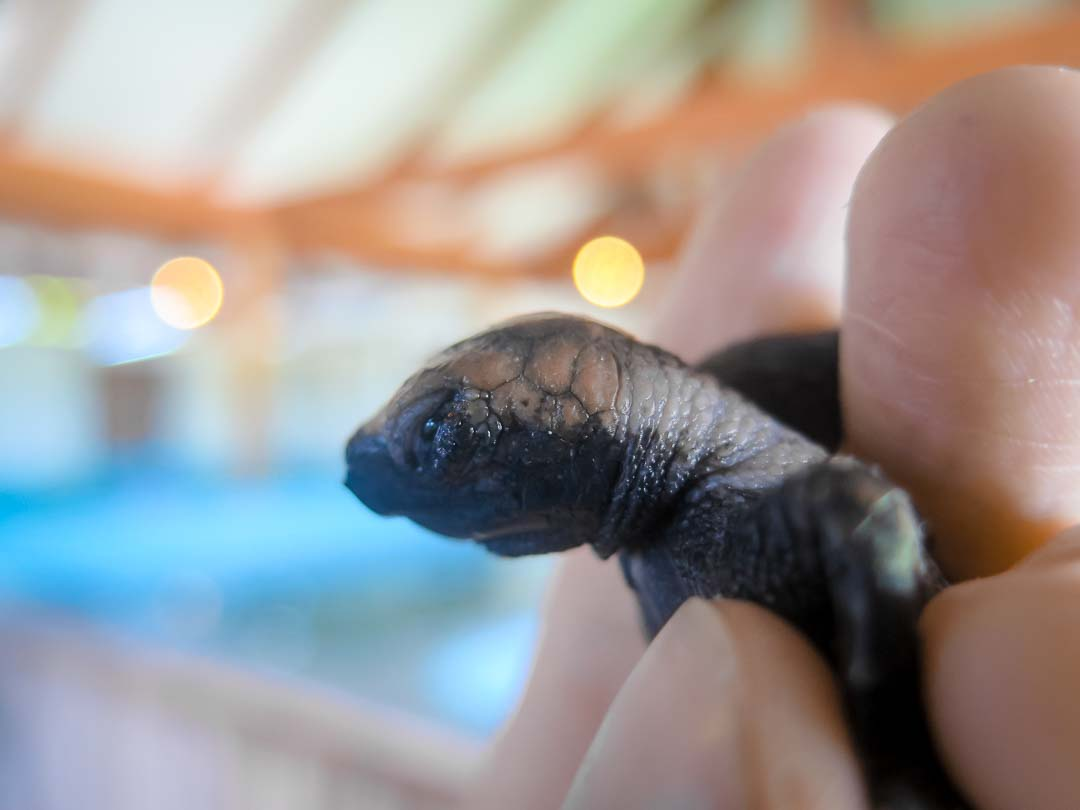 EI.035 Rosie (1) sea turtle conservation Maldives Marine Savers