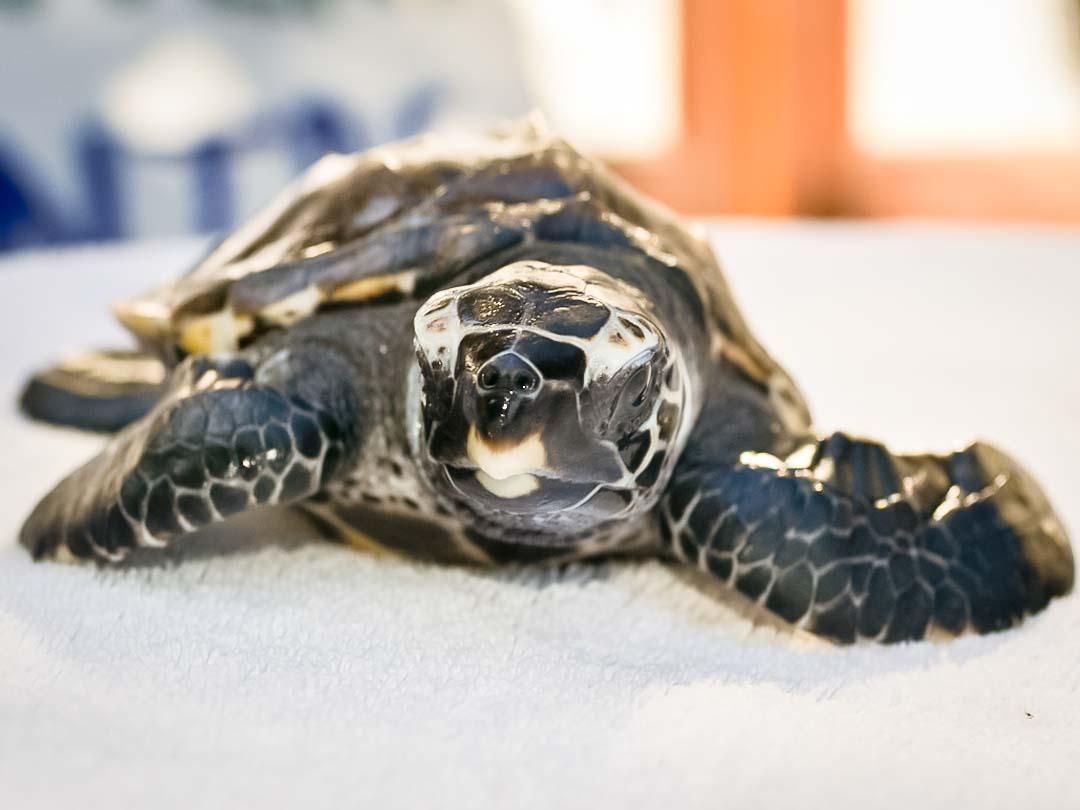 EI.036 Flash (1) hawksbill turtle hatchling Marine Savers Maldives