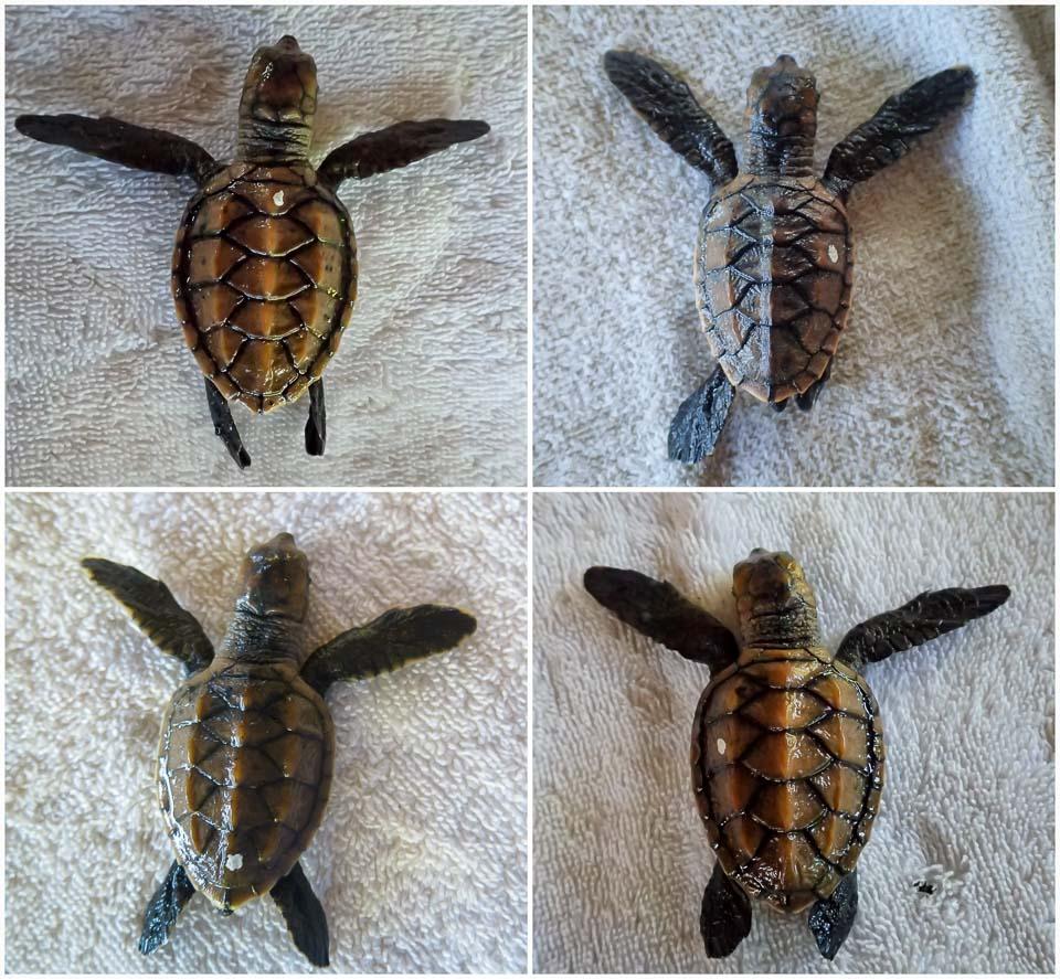 Hatchling Tipex Spots sea turtle conservation Maldives Marine Savers
