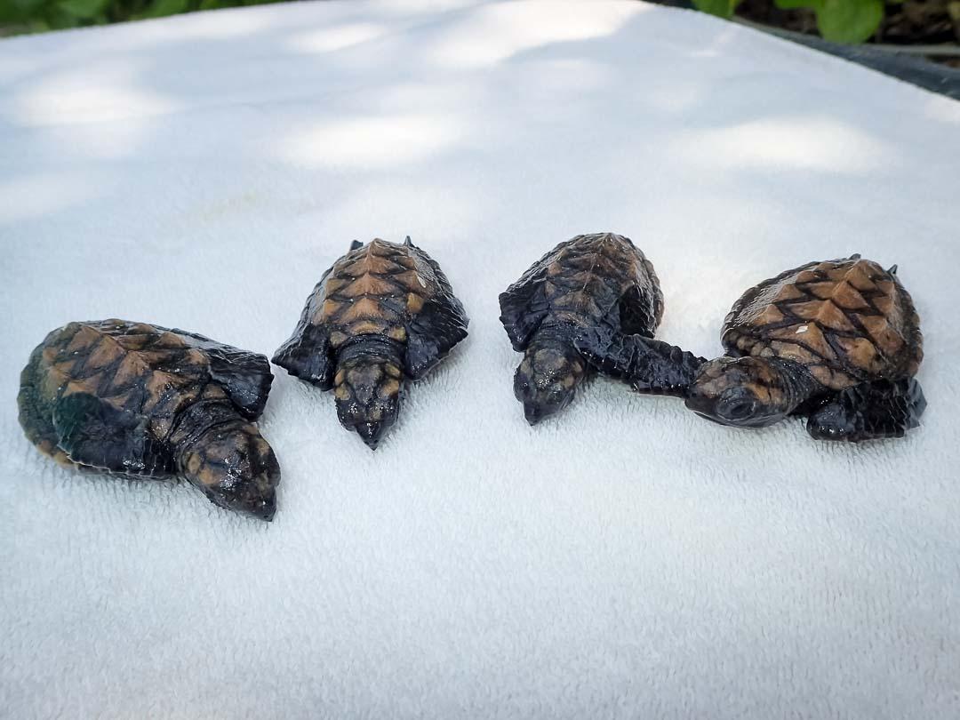 Hawksbill Hatchlings - sea turtle conservation Maldives Marine Savers
