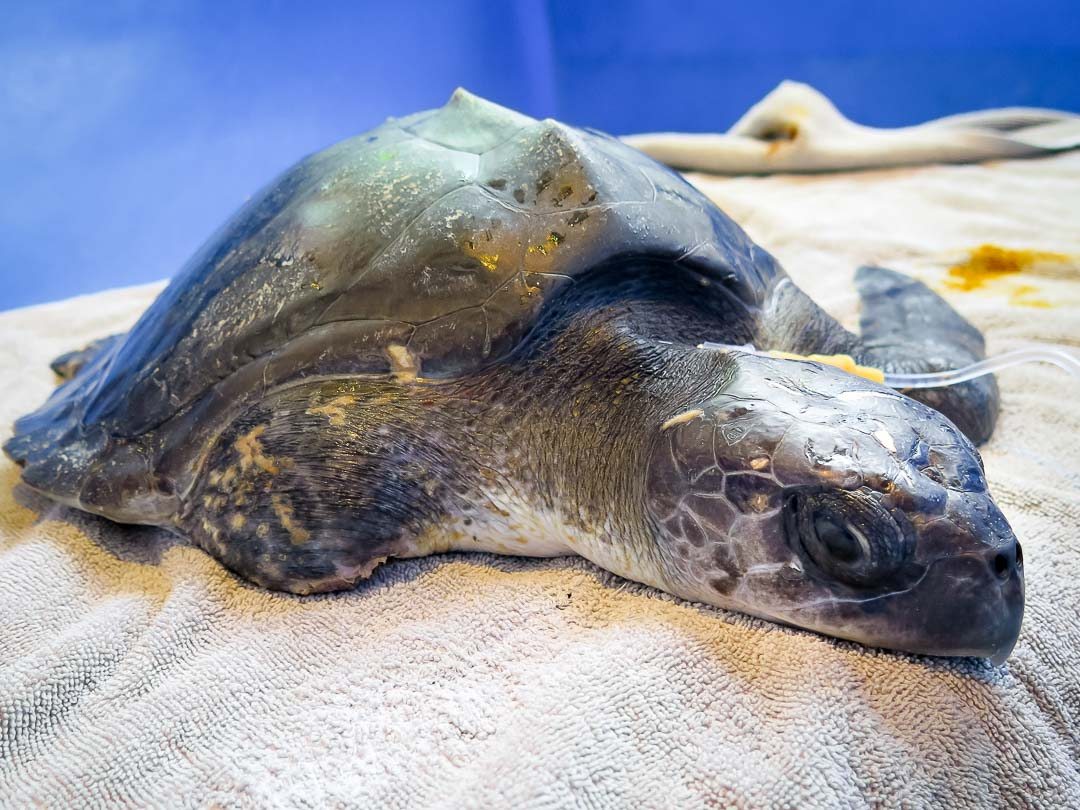 Rescue turtle Humpty RB.LO.093 Fluids 170104