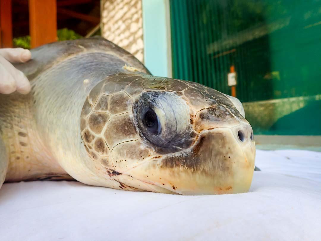 Ummeedhu - sea turtle conservation Maldives Marine Savers