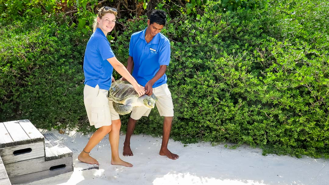 Ummeedhu - Rescue Olive Ridley Turtle - release day - Marine Savers Maldives