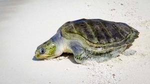 Ummeedhu – Rescue Olive Ridley Turtle – release day (1b3) (Ummeedhu)