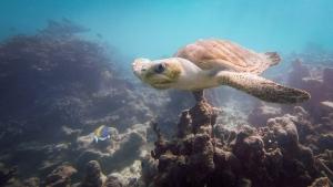Ummeedhu – Rescue Olive Ridley Turtle – release day – Marine Savers Maldives (Ummeedhu)