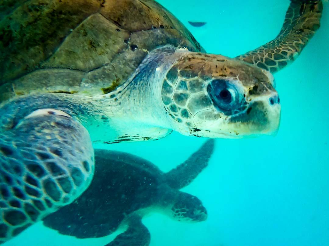 Ummeedhu - with Diver, found in net together sea turtle conservation Maldives Marine Savers