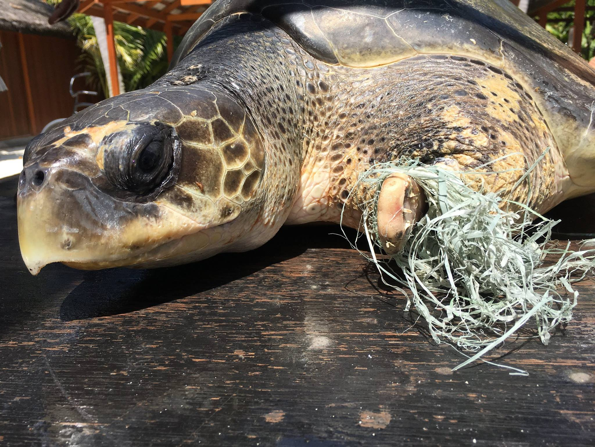Olive Ridley turtle rescued from ghost nets