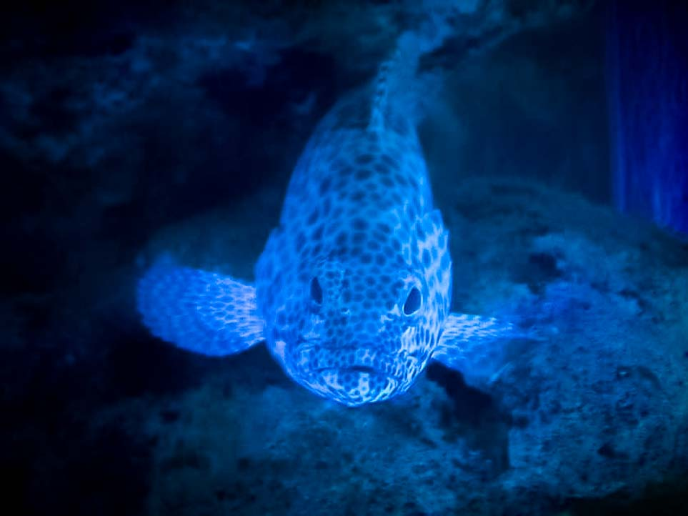Aquarium – infamous the Honeycomb grouper