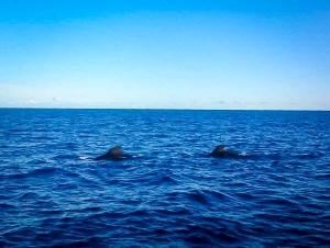 Excursions – Pilot Whales outside Kaafu Atoll, Maldives, 21 Jan 2107 (Marine Life Updates)