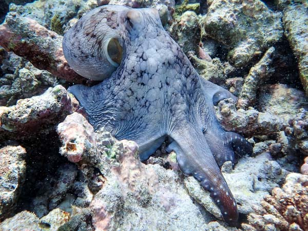 Marine Savers Maldives - excursions - octopus