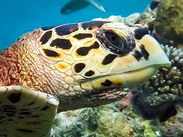 Excursions – wild hawksbill turtle on the reef [KH 2017.01]-2