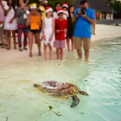 Kainalu released - Seamarc Maldives marine biologist internship