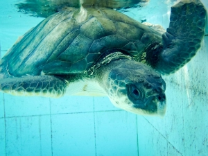 RAP – sea turtle conservation Maldives Marine Savers (RAP)