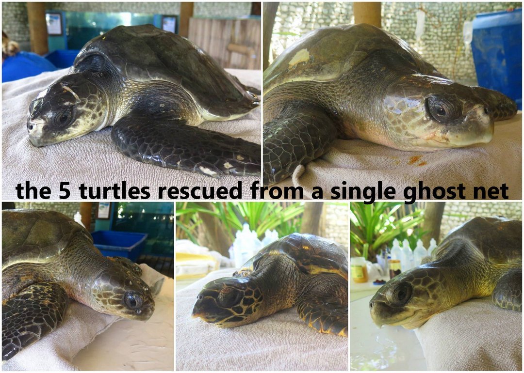 5 turtles rescued - Olive Ridley and Hawksbill Turtles rescued from ghost nets, Marine Savers Maldives