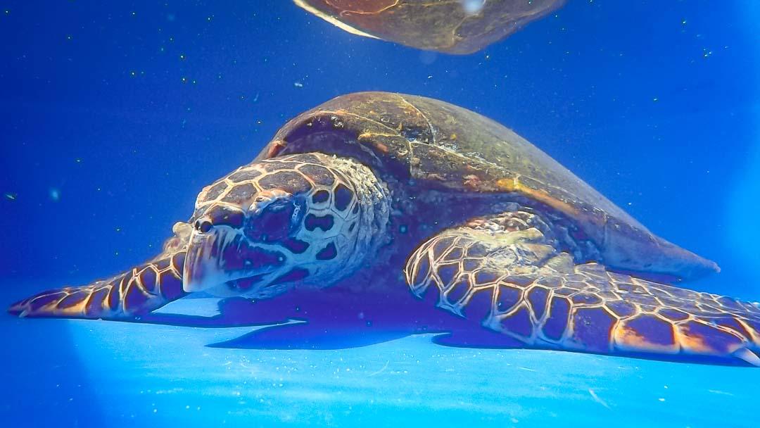 Johanna - rescue turtle - Marine Savers Maldives