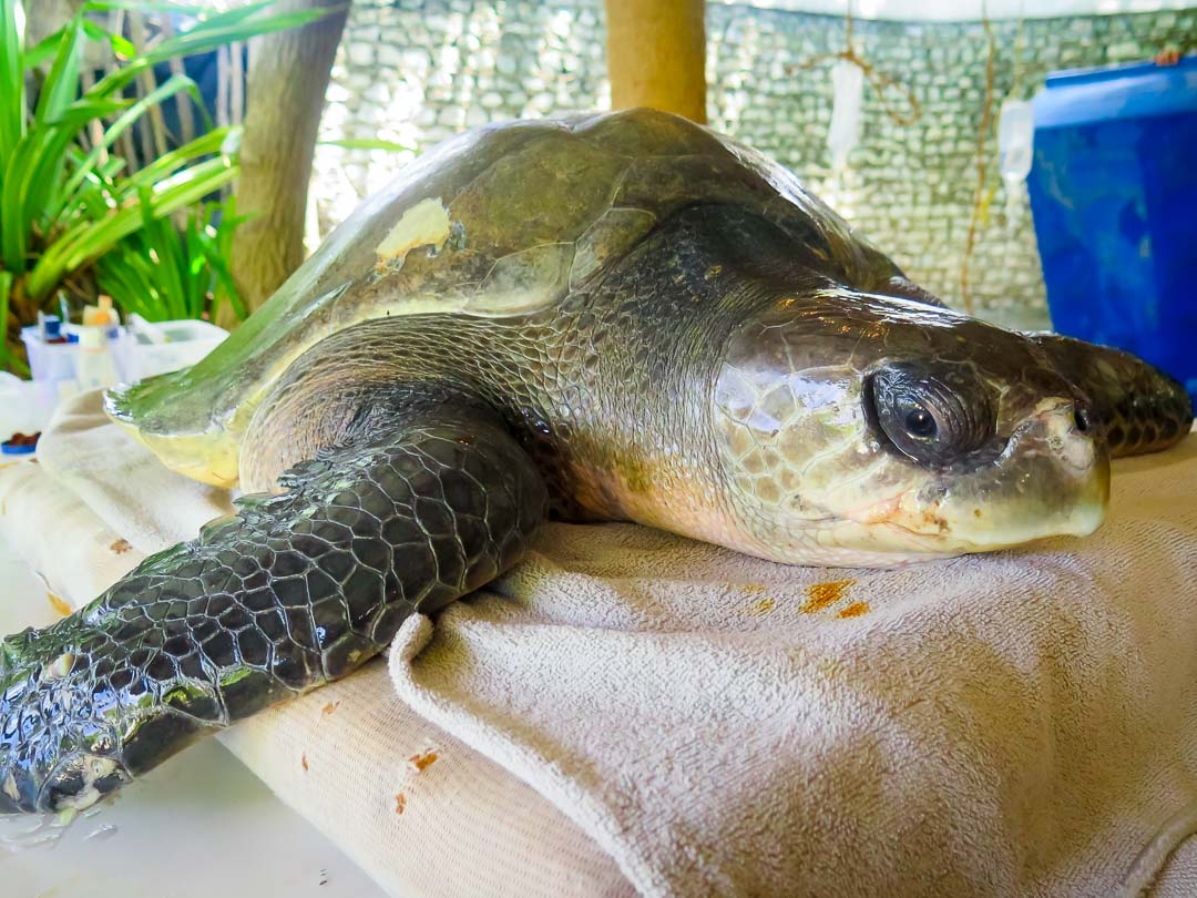 Julie - Olive Ridley Turtles rescued from ghost nets, Marine Savers Maldives