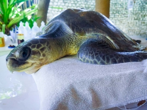 Max – Olive Ridley Turtles rescued from ghost nets, Marine Savers Maldives (Julie)