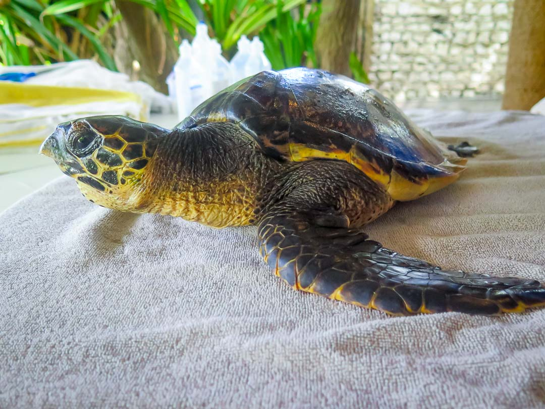 Poppy - Hawksbill Turtle rescued from ghost nets, Marine Savers Maldives