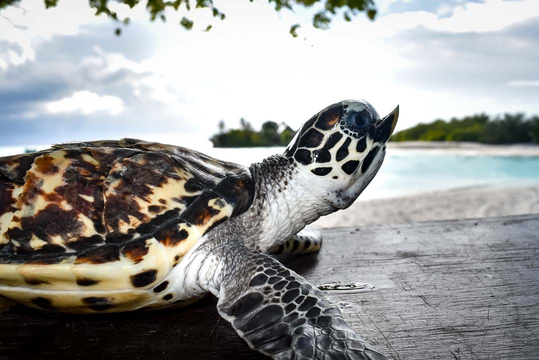 Quasimodo - malformed Hawksbill turtle