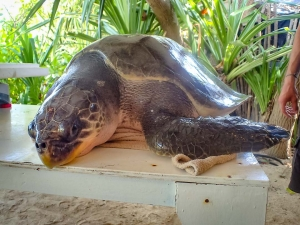 Sweetie – rescue sea turtles Marine Savers Maldives (Sweetie)