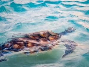 Tony – Marine Savers Maldives – turtle conservation (Beybe)