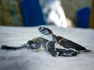 Green sea turtle hatchlings – Marine Savers Maldives (CM115-117) (N030 AF)