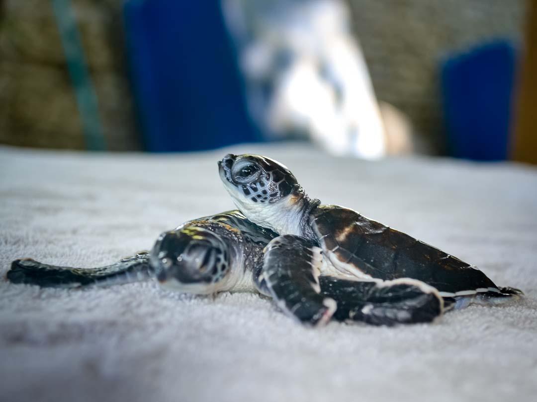 Green sea turtle hatchlings - Marine Savers Maldives (CM115-117)