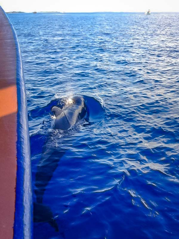 Hannah Internship - Pilot whales riding in the bow of the boat - Marine Savers Maldives