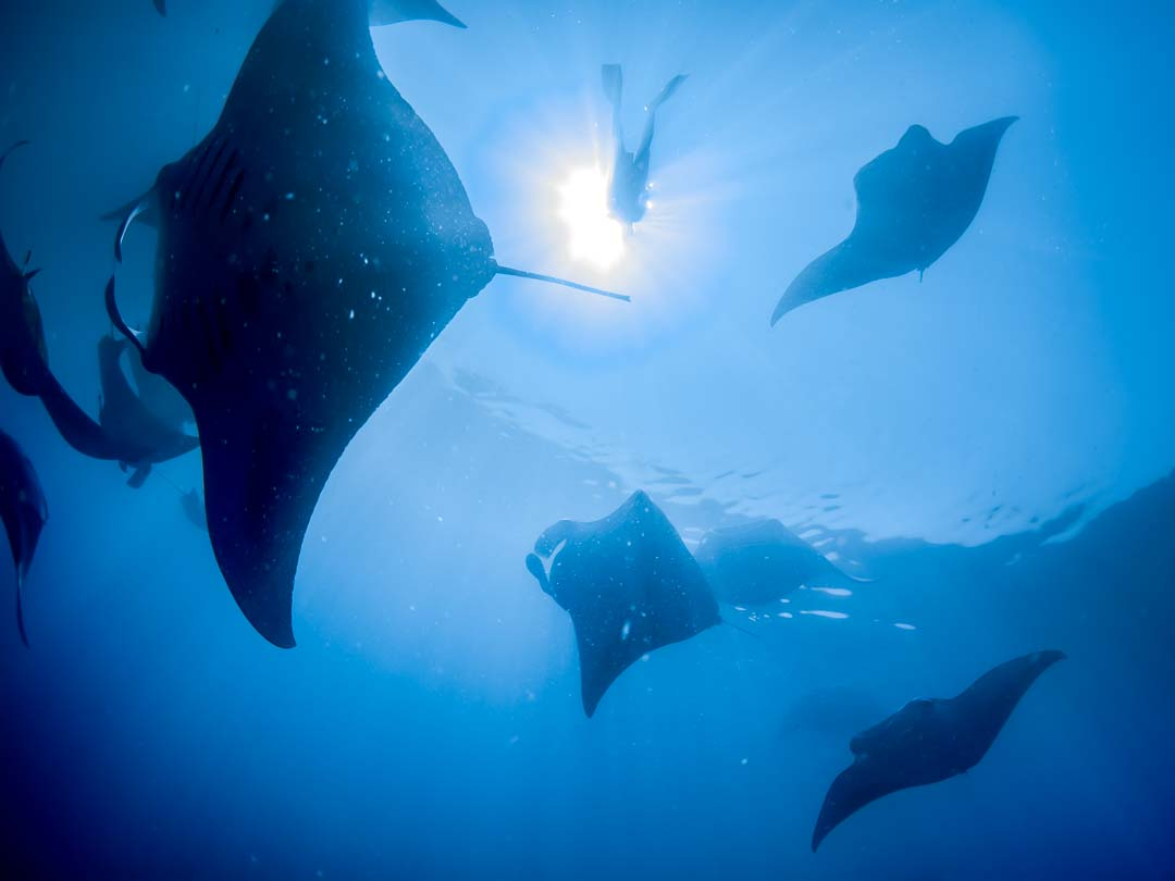 thanks to Simon, Manta Trust, for the great photo