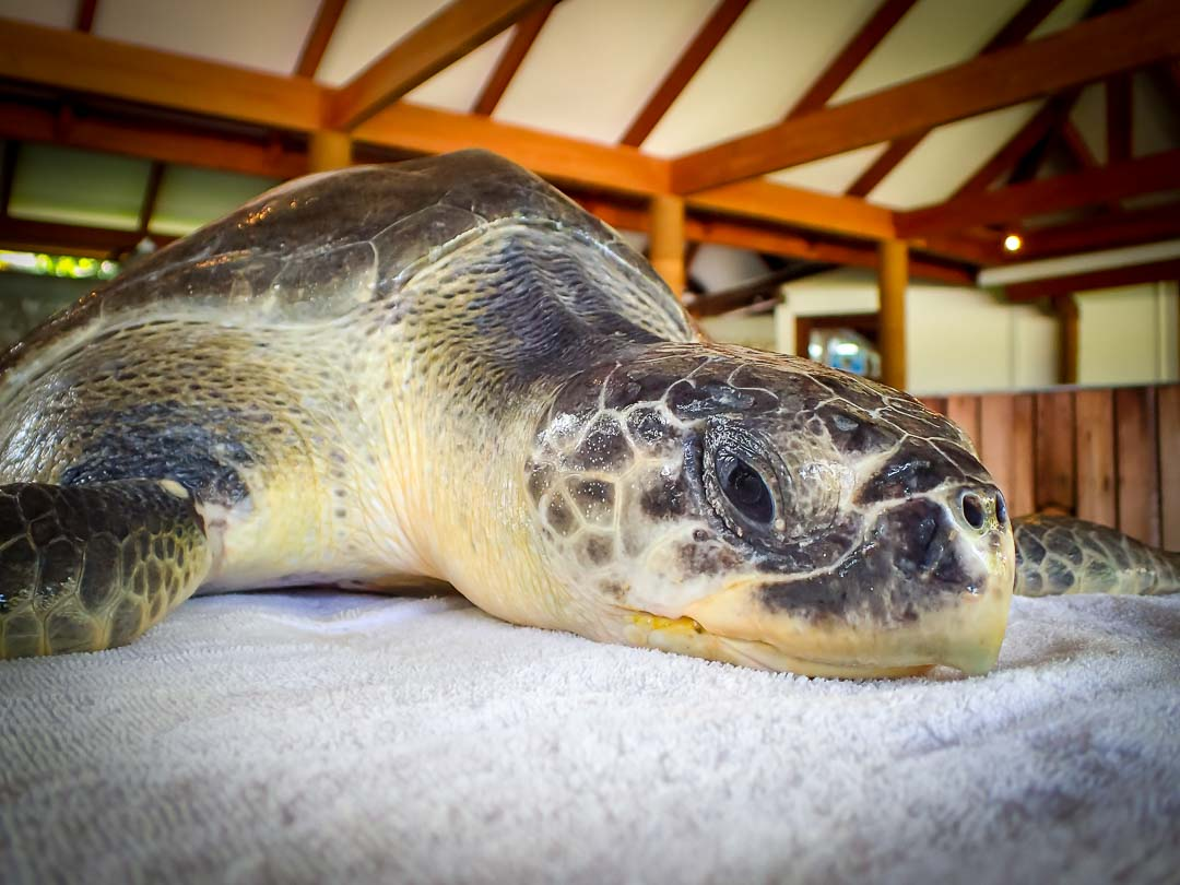 Max - Marine Savers Maldives - turtle conservation