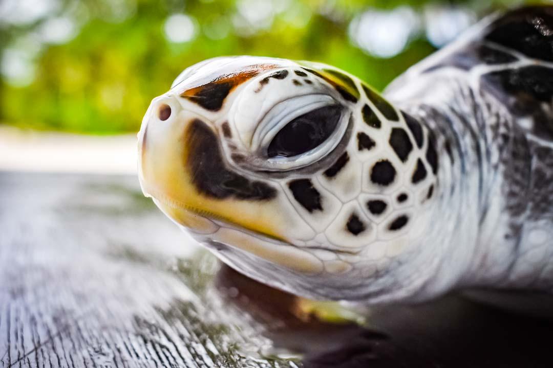 Rosa sea turtle centre Marine Savers Maldives