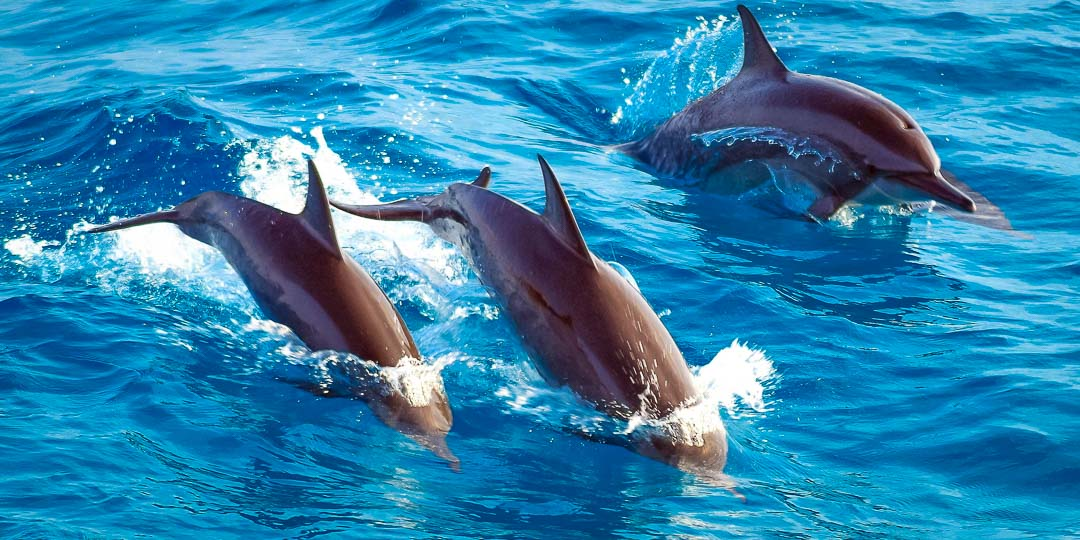 dolphin safari Marine Savers Maldives