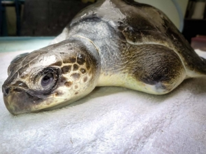Faaz [RB.LO.113] sea turtle conservation Marine Savers Maldives (Faaz)