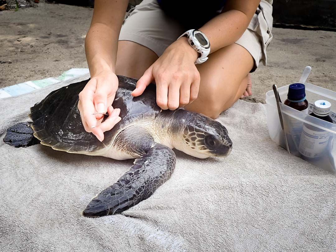 Faaz - rescue turtle - Marine Savers Maldives