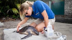 Faaz – rescue turtle – Marine Savers Maldives (Faaz)