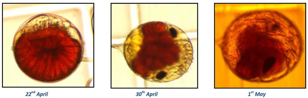 lobster embryo development – Marine Savers Fish Lab