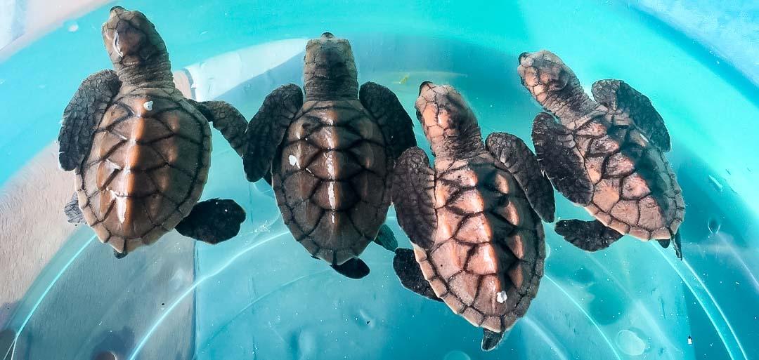 Irene's internship - sea turtle hatchlings - Marine Savers Maldives