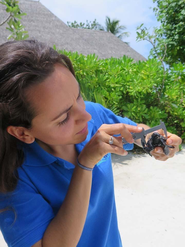 Irene's internship - sea turtle head start hatchling - Marine Savers Maldives