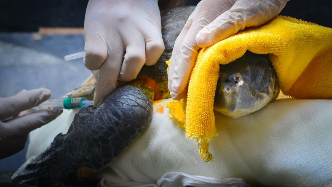 Luc - rescue turtle - Marine Savers Maldives