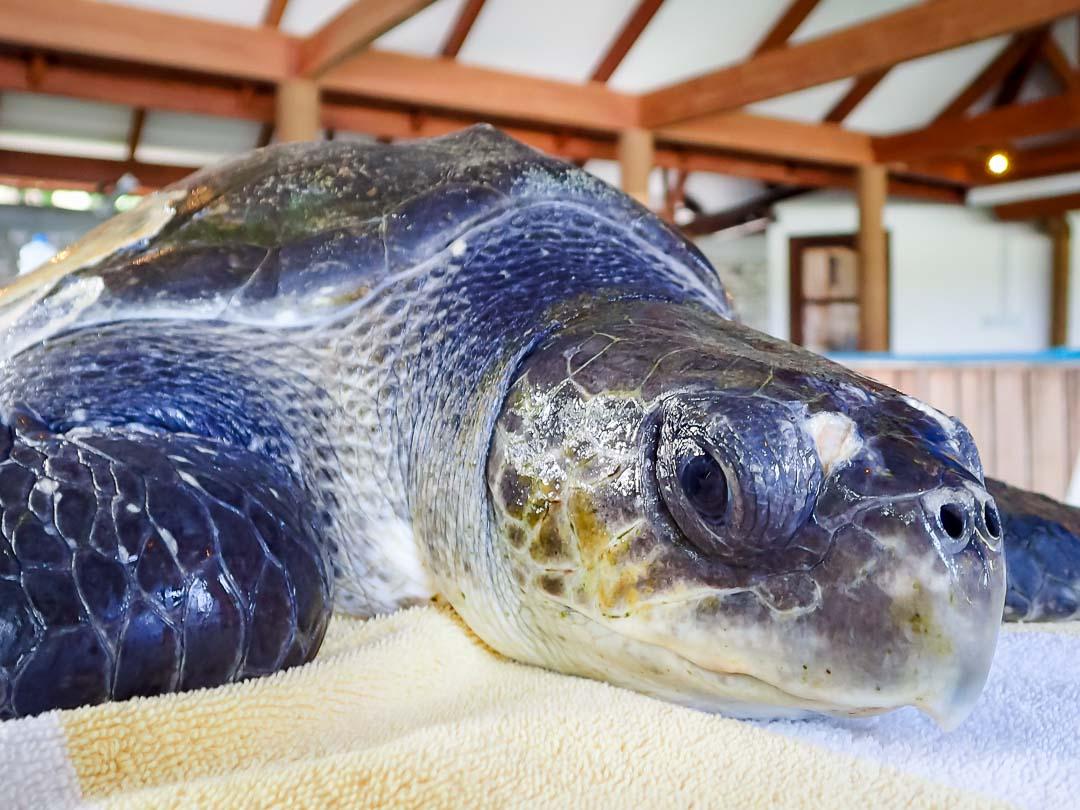 Luc - sea turtle conservation Maldives Marine Savers