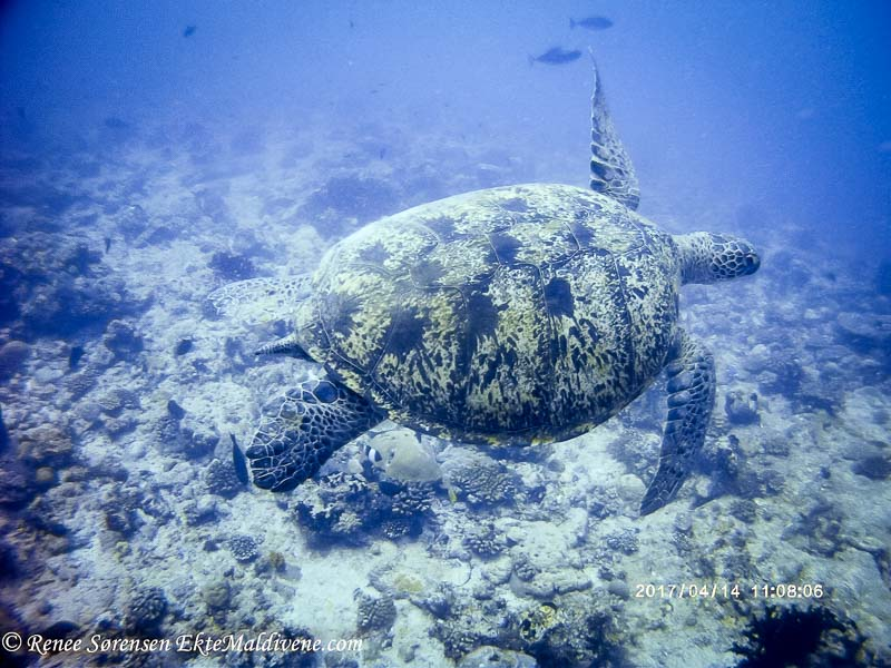 Turtle ID - Green turtle CM0130 Chuck at Kandooma Thila, Maldives (14-Apr-17)